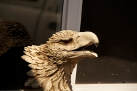 eagle-fake.jpg